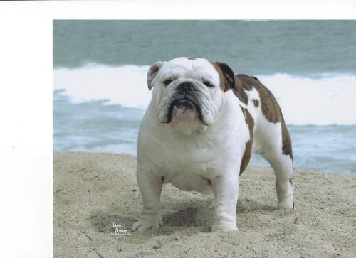 Ch Benchmark Bulldogs Cowboy Casanova Bulldog