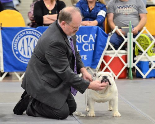 Bulldog Stud MBISS GCH Aguirres Lloyd Britches a Champion Bulldog Stud