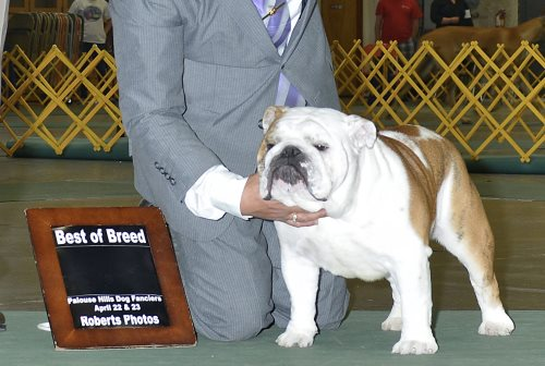 Bulldog Stud BISS CH Shining Star on Dlanors El Mariachi a Champion Bulldog Stud