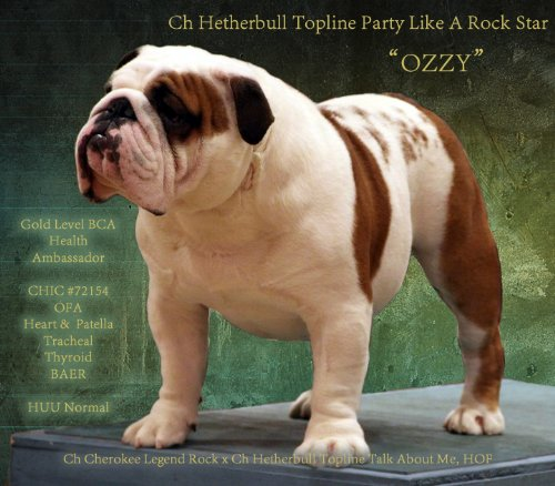Bulldog Stud Ch Hetherbull TopLine Party Like A Rock Star HOF a Champion Bulldog Stud