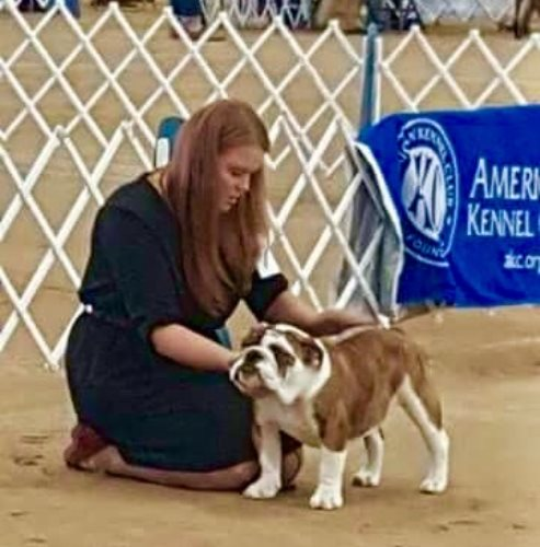 Bulldog Stud CH Big Thompsons Archangel of Bearhill a Champion Bulldog Stud
