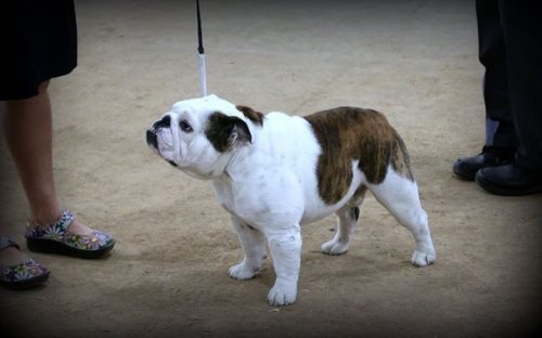 Bulldog Stud GCH CH Big Thompsons American Pistol of Bearhill a Champion Bulldog Stud