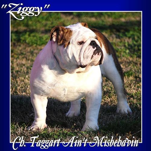 Bulldog Stud CH. Taggart Aint Misbehavin a Champion Bulldog Stud