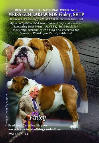 Bulldog Stud GCH. Lakewinds Finley S.H.T.P a Champion Bulldog Stud