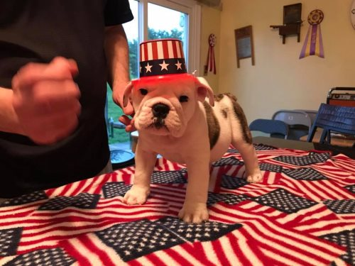Bulldog Speckles border=